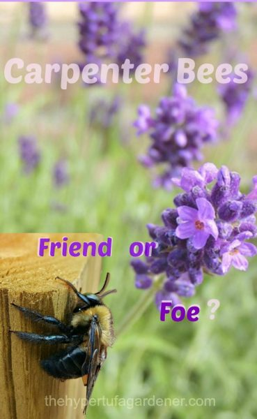 Carpenter-Bees-friendorfoe