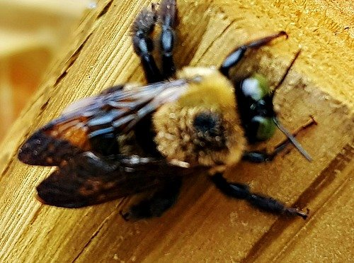 Carpenter Bees fur carries pollen