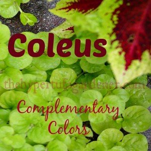 Coleus has endless color combos to use with all of your garden plantings.