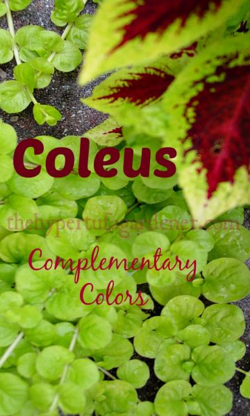 Coleus-TheHypertufaGardener.com