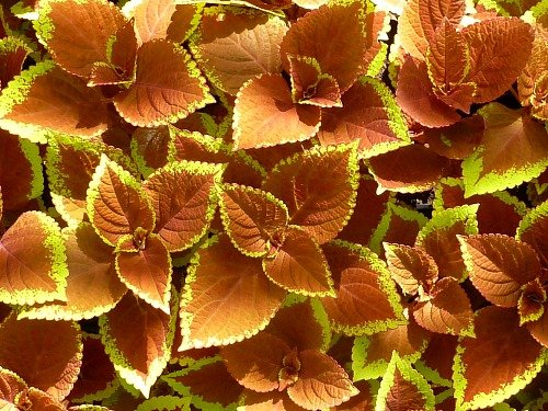 Coleus as a Complimentary Plant- TheHypertufaGardener.com
