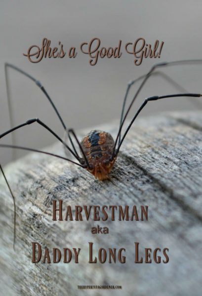 Daddy Long Legs - The Harvestman - A great companion in your garden!