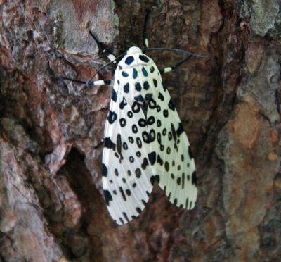 Giant_leopard_moth_20050612_173823_1.1300x1210