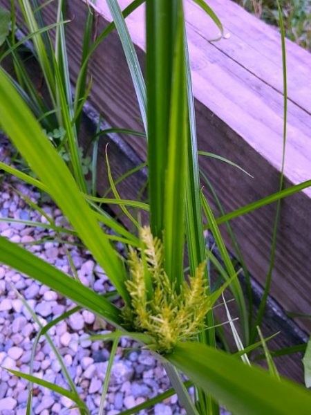 Nutsedge - The Hypertufa Gardener