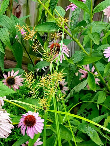 Nutsedge among the fading Coneflowers - The Hypertufa Gardener