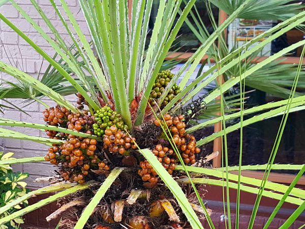 Saw Palmetto Fruiting - TheHypertufaGardener