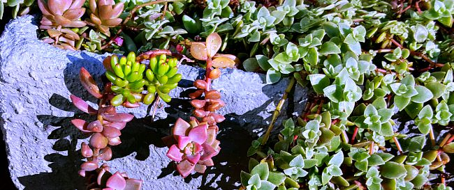 Tender Succulents - The Hypertufa Gardener