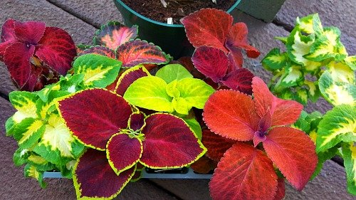 Typical Cell Pack You Purchase - Coleus - thehypertufagardener.com