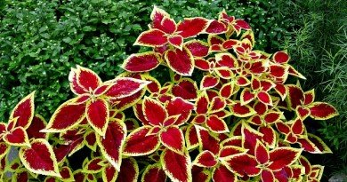 Well-pinched-coleus- from TheHypertufaGardener.com
