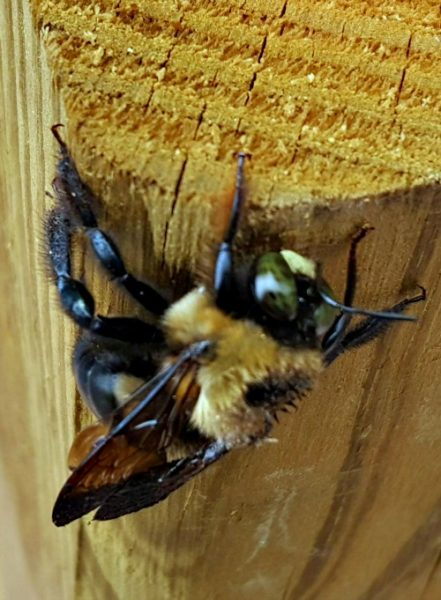 Carpenter Bees like wood