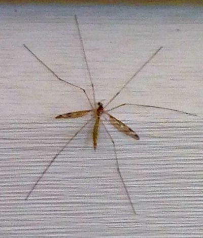 texas-sized mosquito is a crane fly - thehypertufagardener