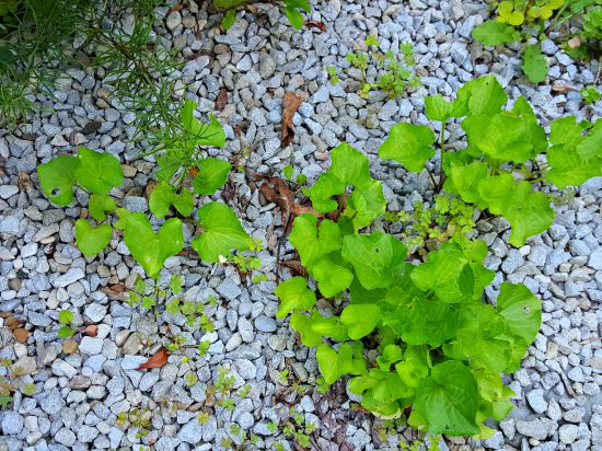 wild violets multiplying - the hypertufa gardener