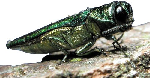 Emerald_ash_borer_3_-_Flickr_-_USDAgov