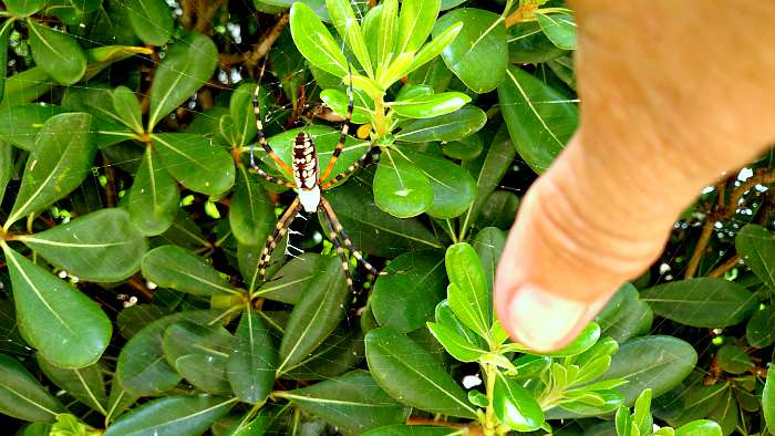 Golden Orb Weaver in Florida - the hypertufa gardener.com