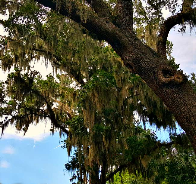 Old Sprawling Trees with Spanish Moss - TheHypertufaGardener