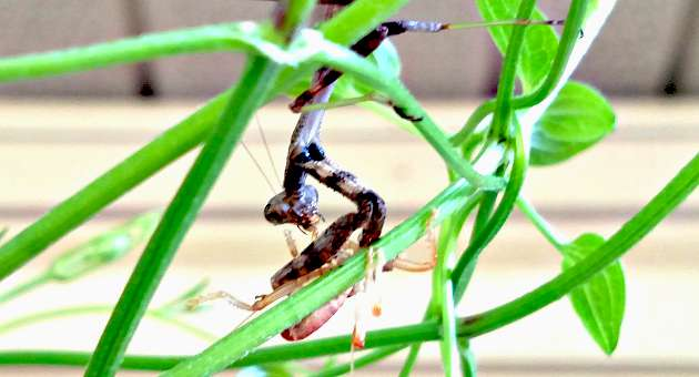 Praying Mantis - Apparently The Brains Taste Best - The Hypertufa Gardener