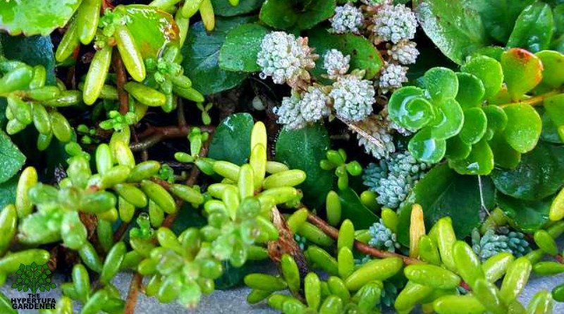 So Colorful Sedums in Hypertufa pots