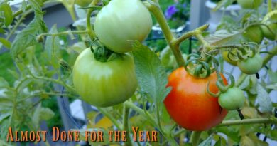The tomato vine is almost done for the year.