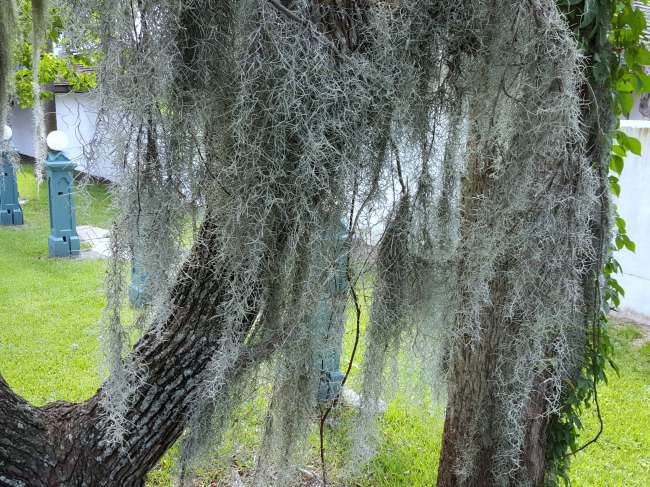 Very Dry and Gray Spanish Moss - TheHypertufaGardener