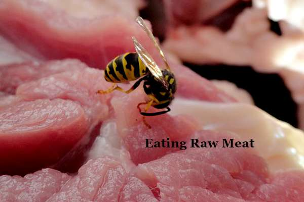 Wasp Eating Raw Meat - The Hypertufa Gardener