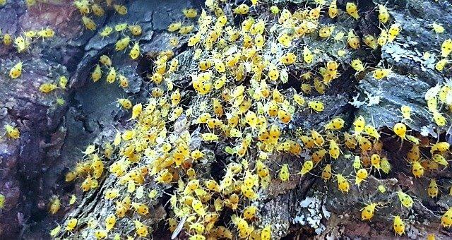 Aphids-grow-wings - The-Hypertufa-Gardener