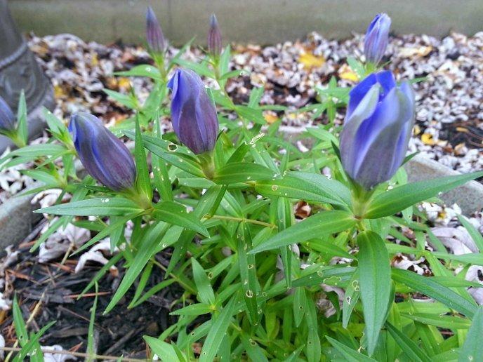 Bottle-Gentian-Blooming-in-Fall - The Hypertufa Gardener