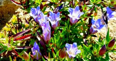 Fall blooming Gentian
