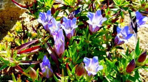 Bottle Gentian Blooming!