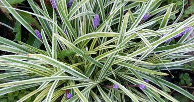 Lilyturf-The-Hypertufa-Gardener