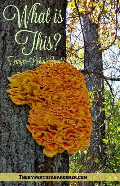 Mushroom-Chicken-of-the-woods - The-Hypertufa-Gardene