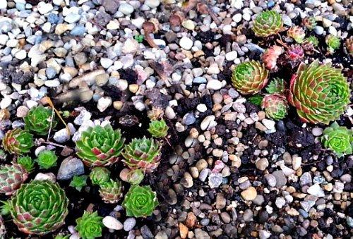 Similar-to-Rosularia-the-hypertufa-gardener