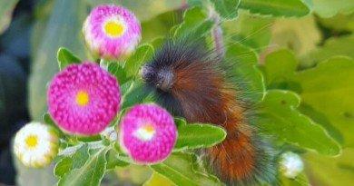 The-Prognosticator-Woolly-Worm from the hypertufa gardener - Copy