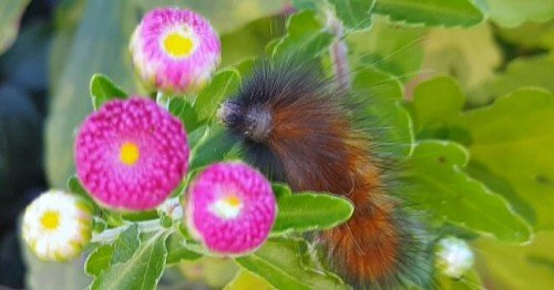 2nd Annual Woolly Worms Weather Prediction