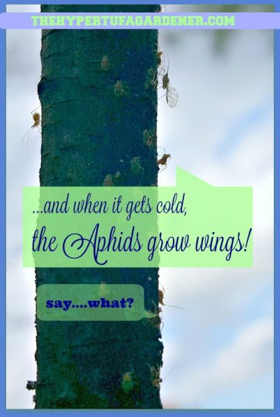 When-it-gets-cold-aphids-grow-wings - The-Hypertufa-Gardener