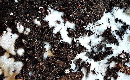 White And Fuzzy Mold The Hypertufa Gardener