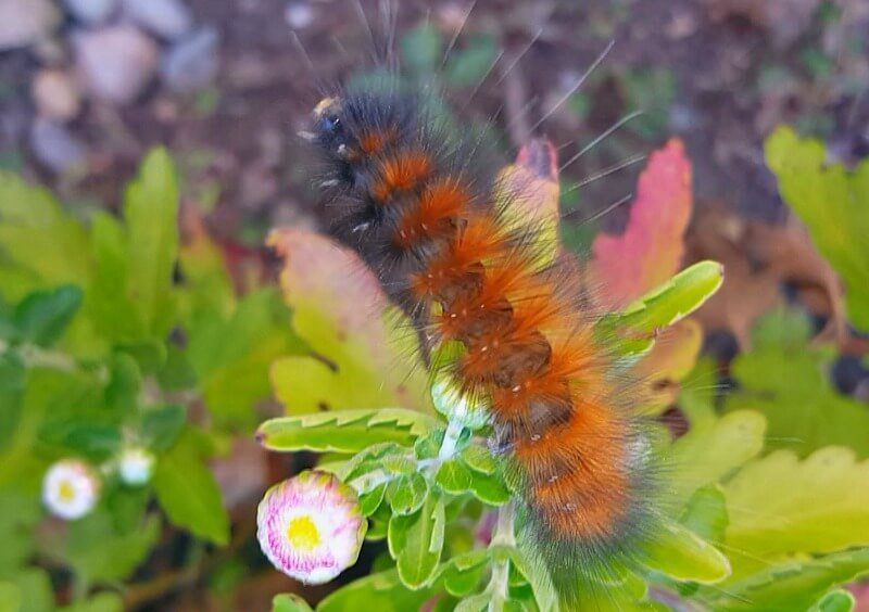 Woolly-Worms-Weather-Prediction- Not-Much-Black from the Hypertufa Gardener