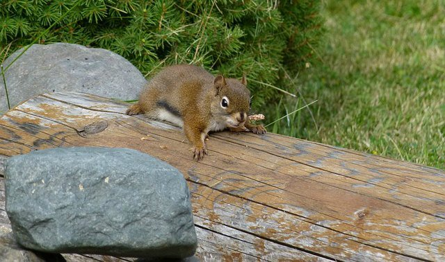 squirrel-sneaking - the hypertufa gardener