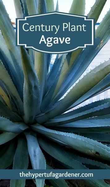Century Plant aka Agave - The Hypertufa Gardener