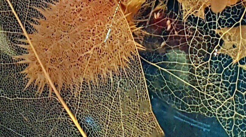 Skeletal Leaves on display at the Museum