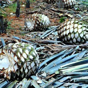 agave-tequilana-hearts