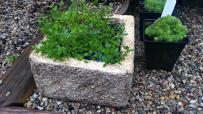 Almost Hypertufa Planted with Thyme - The Hypertufa Gardener
