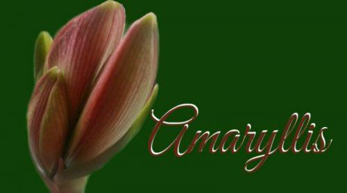 Addicted to Amaryllis Bulbs !