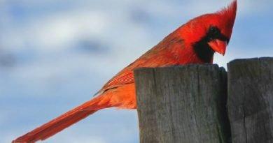Ohio's Lovely Cardinals from The Hypertufa Gardener