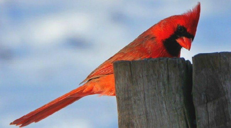 Ohio's Lovely Cardinals from The Hypertufa Gardener