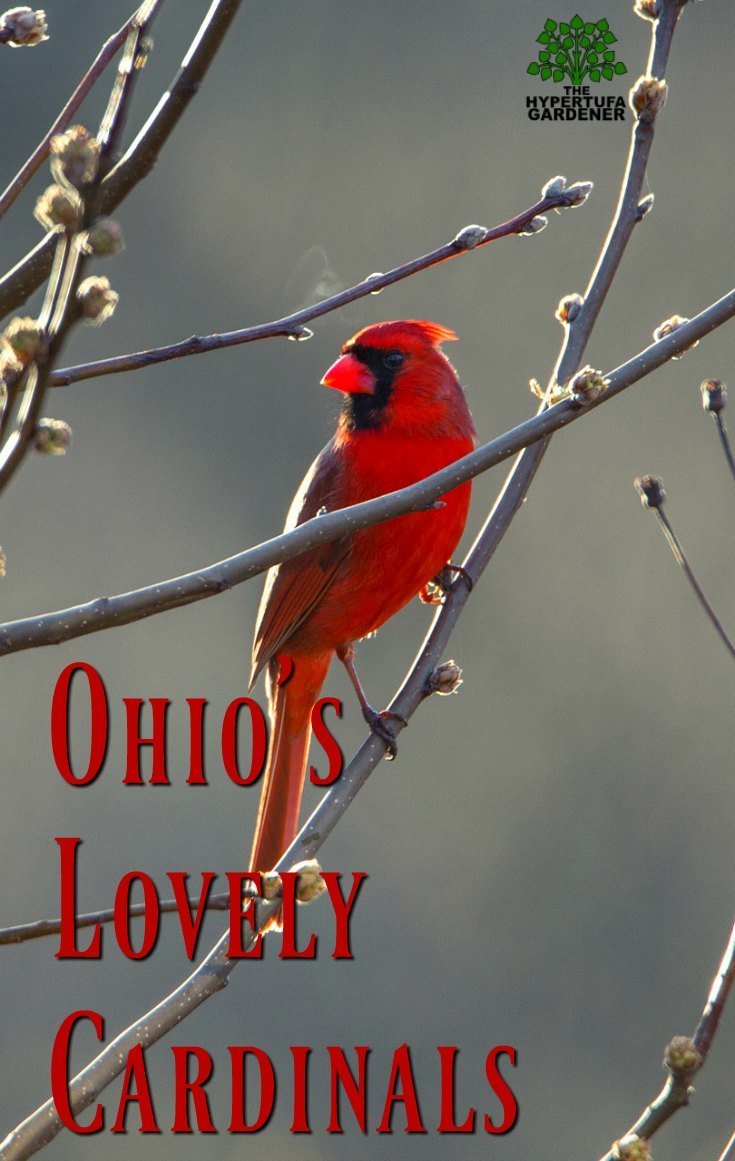 Ohio's Lovely Cardinals
