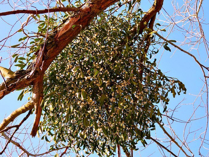 IMAGE CLOSEUP OF MISTLETOE GROWING IN TREE