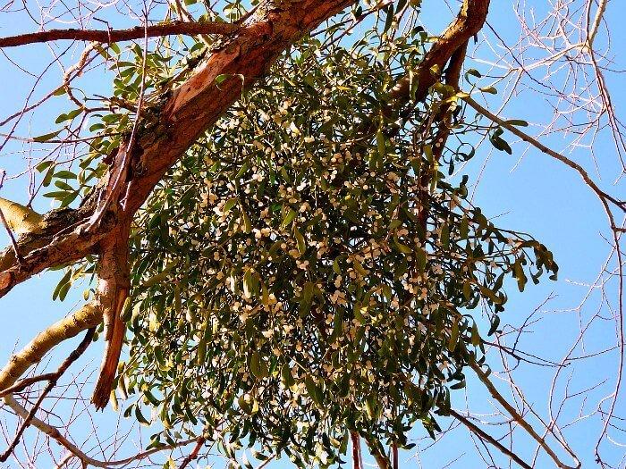 Under the Mistletoe High in the Tree - The Hypertufa Gardener