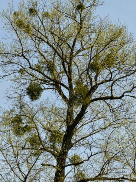 image of Mistletoe High up Tree