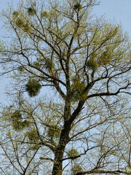 Under the Mistletoe High up Tree - The Hypertufa Gardener