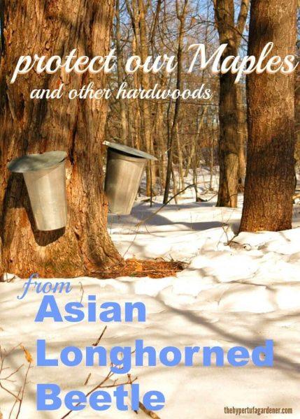Asian Longhorned Beetle Infestation(1)(1)